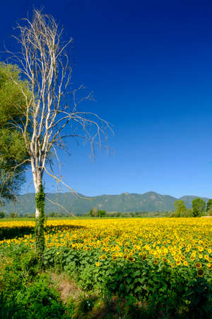 Country landscape at summer between Rieti (Lazio) and Terni (Umbria, Italy) at summer. Field of sunflowers