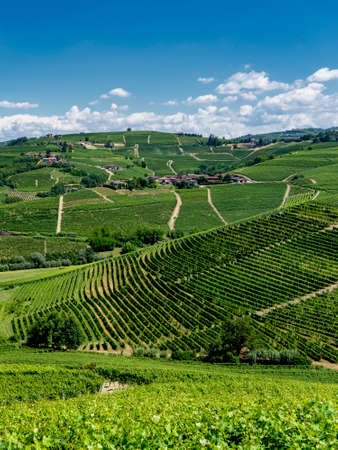 Vineyards in the Langhe near Barbaresco, Cuneo, Piedmont, Italy, at summer