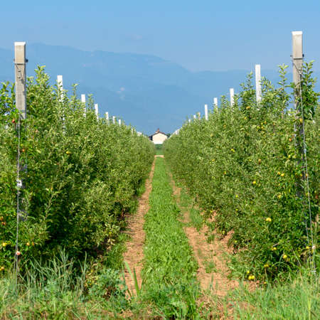 Cuneo, Piedmont, Italy: plants of apples at summer with mountains in background 版權商用圖片