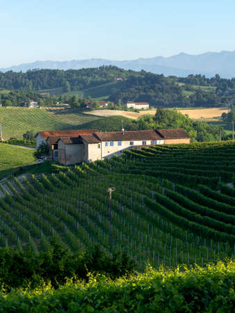 Vineyards in the Langhe near Barolo and Alba, Cuneo, Piedmont, Italy, at summer 版權商用圖片