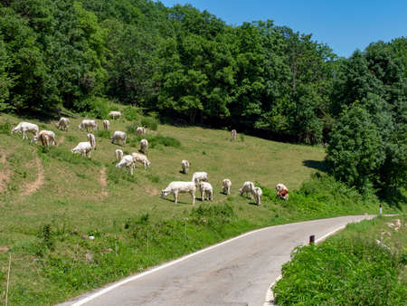 Cows at pasture along the road to Colle Fauniera, Cuneo, Piedmont, Italy at summer.