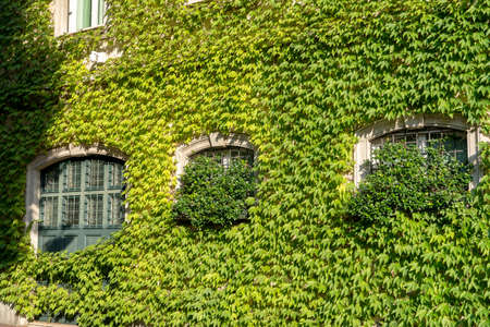 Milan, Lombardy, Italy: exterior of historic house covered with creeper plants