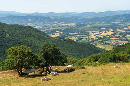 Mountain landscape near the Monte Cucco, between Marche and Umbria, Italy, at summer. Cows at pasture