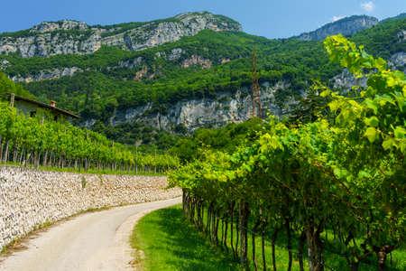 VIneyards along the cycleway from Torbole to Rovereto, Trento, Trentino Alto Adige, Italy, at summer Archivio Fotografico