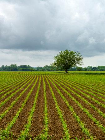 Rural landscape in Monferrato, Vineyard near Oviglio, Alessandria province, Piedmont, Italy