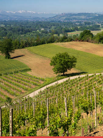 Rural landscape of vineyards at springtime in Langhe, Cuneo province, Piedmont, Italy, Archivio Fotografico