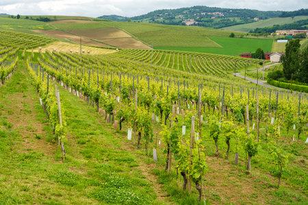 Rural landscape in Monferrato, near Vignale, Alessandria province, Piedmont, Italy. Vineyards Archivio Fotografico