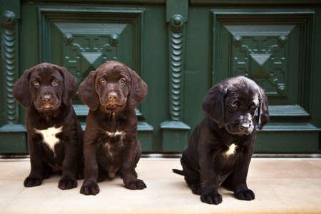 three young labrador retriever puppies sitting at front door