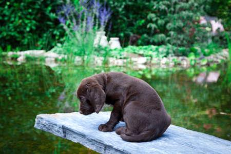 Young labrador retriever puppy outdoor