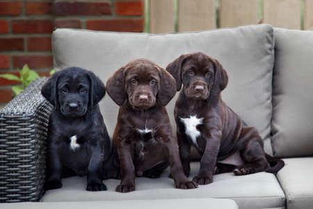 perrito: tres jóvenes cachorros labrador retriever sentado en el sofá al aire libre Foto de archivo