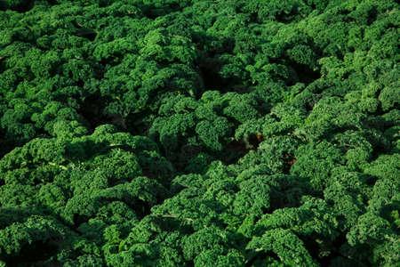 cabbage field