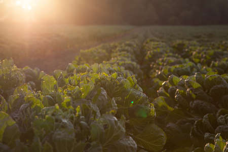 field with young Brussels sprout plants Stock Photo