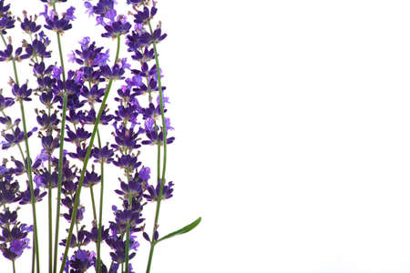 Lavender flowers in closeup isolated on white background
