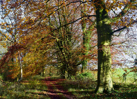 autumn colour: Colour and Light of Autumn is a landscape of colourful beech tree in the autumn sunlight. Stock Photo