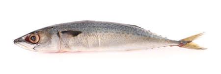 Single Atlantic horse mackerel isolated on white background