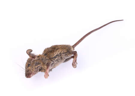 dead rat: Dead rat isolate on a white background Stock Photo
