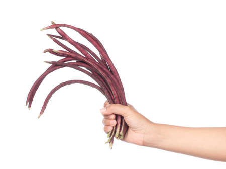vigna: hand holding purple yardlong bean isolated on white background Stock Photo