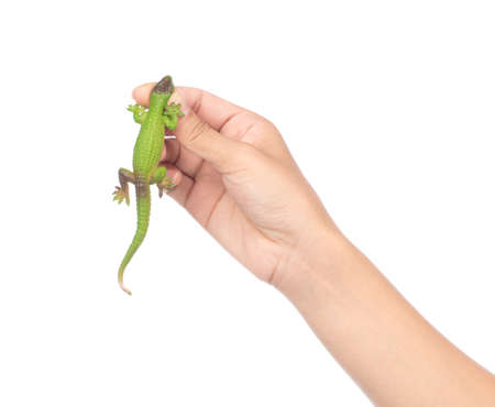 hand holding lizard isolated on a white background Фото со стока