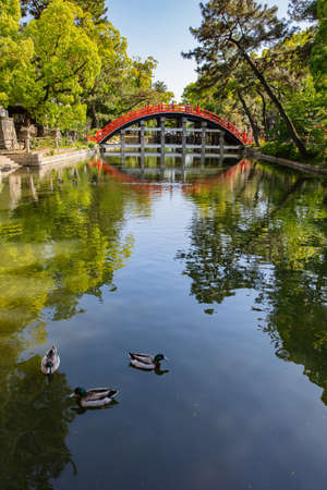 Mallard Ducks or Anas platyrhynchos swimming on a pond with green water at Red curve Bridge and reflection in the river at Sumiyoshi Taisha Shrine Stock Photo