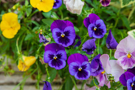 Beautiful of wild pansy or viola tricolor flowers in garden