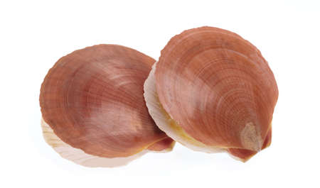 Scallop shell Isolated on white background.