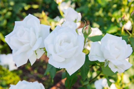 beautiful white roses in a garden.