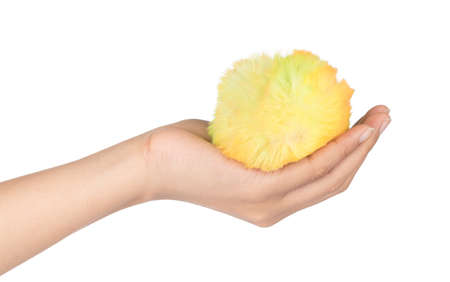 hand holding Fur ball isolated on white background