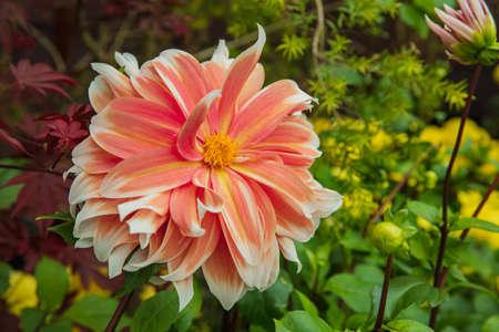 Close up of Zinnia flower in Gardens 写真素材