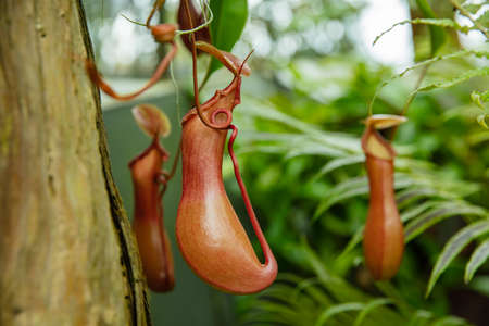 Nepenthes jamban is a tropical pitcher plant 版權商用圖片