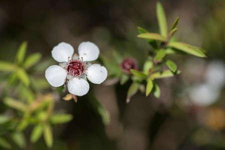 New Zealand Manuka flowers