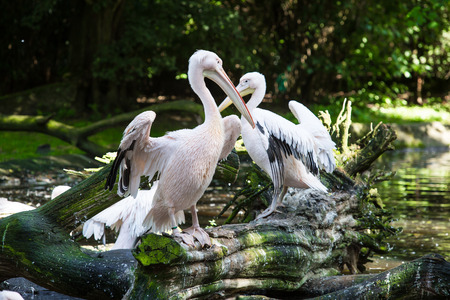 great white pelican: Great White Pelican on the tree in forest