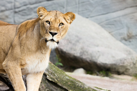 curiously: Lioness looking curiously and interestedly. Stone grey background.