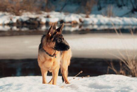 Female pure breed German shepherd puppy. 版權商用圖片