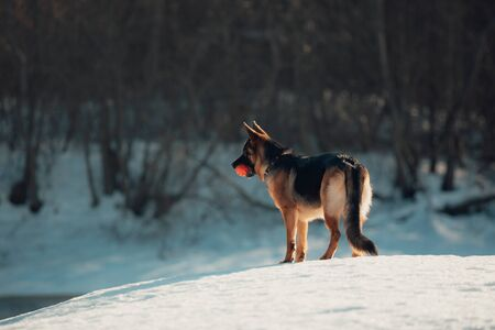 Female pure breed german shepherd puppy.