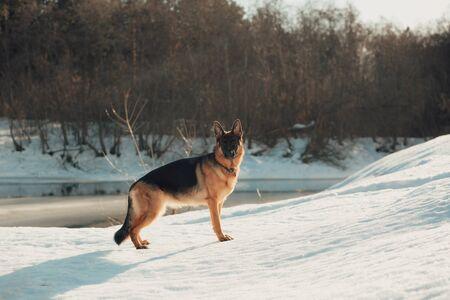 Female pure breed german shepherd puppy. Winter landscape.