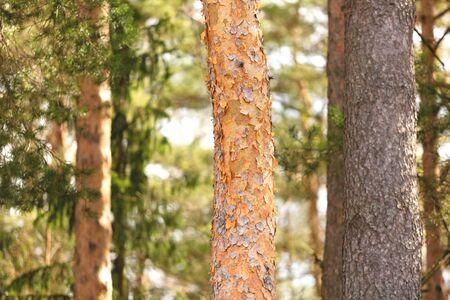 Pine forest close-up. Summer landscape.