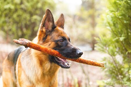 Portrait of a German shepherd with a stick in the mouth. Purebred dog.
