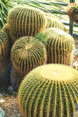 Cactus in the ground. Exotic plant in the natural environment. Echinocactus grusonii, golden barrel cactus.