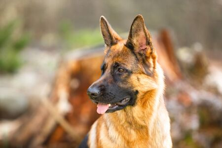 Portrait of a German shepherd in a park. Purebred dog.