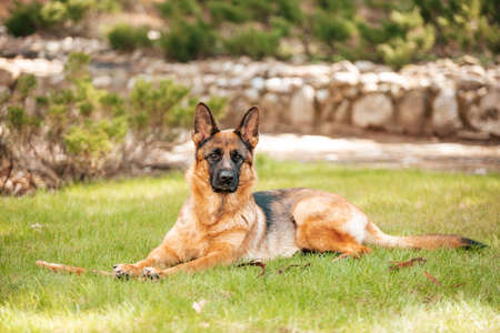 German shepherd lying on the grass in the park. Portrait of a purebred dog. Stock Photo