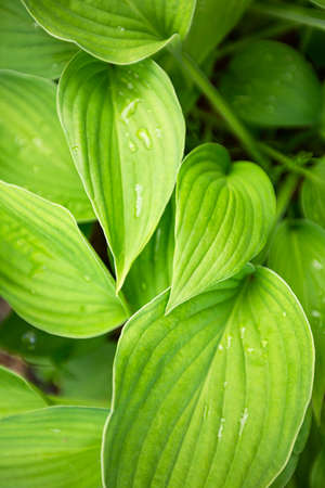 Green leaves hosta. Perennial herbaceous plant of the Asparagus family. Foto de archivo