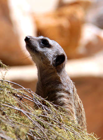 curiously: Meerkat, upright and looking about curiously Stock Photo