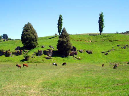 Field of Cows, Waitomo, New Zealand photo