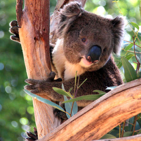 koalabeer: Lachend Koala in een Eucalyptus Tree, Adelaide, Australië Stockfoto