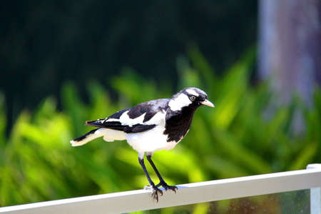 A male Murray-Magpie (also mudlark, magpie-lark, peewee or piping shrike) standing on fencing. Australian Native Bird Stock Photo - 4755047