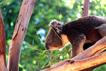 Koala climbing in Eucalyptus Tree, Adelaide, Australia