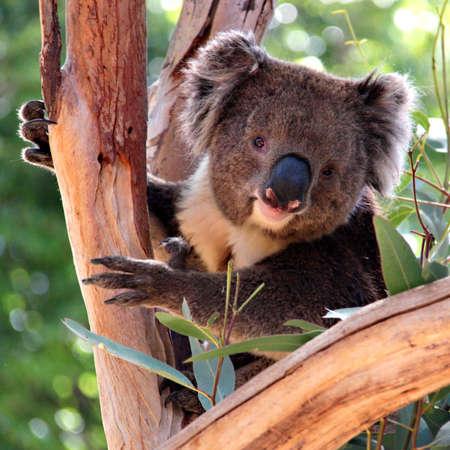 koalabeer: Koala in een Eucalyptus Tree, Adelaide, Australië Stockfoto