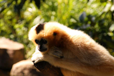deep in thought: Female Adult White-Cheeked (aka Black-Crested) Gibbon in Deep Thought Stock Photo