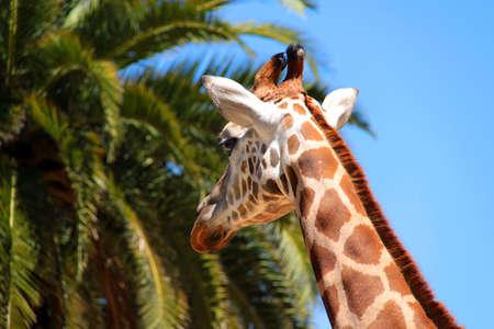 Giraffe Making Backwards Eye Contact  Фото со стока