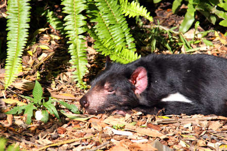 Tasmanian Devil basking in the Sun. Native Australian animal and is an endangered species. Sarcophilus harrisii photo